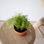 Cây măng tây dương xỉ dễ trồng và dễ chăm khi thích nghi tốt trong điều kiện ngoài trời nhiều nắng hay trong nhà bán râm